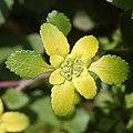 Chrysosplenium nagasei (flower s2).jpg