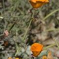 ChuckThePhotographer - Bee Working Poppy-s 1 (by).jpg