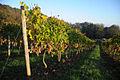 Cinquau vignes en hautain.jpg