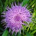 Cirsium rivulare flower.JPG