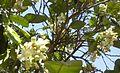 Citrus blossoms Kefar Saba February 2015 111.jpg