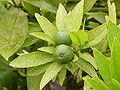 Citrus limon1.jpg