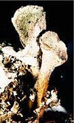 Cladonia pleurota.jpg