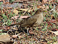 Clay-colored Thrush RWD5.jpg