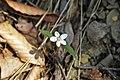 Claytonia caroliniana (Carolina spring beauty) (near Middle Run, Fayette County, Pennsylvania, USA) 1 (48343931341).jpg