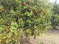 Clementine nechalim 2014 A 04.jpg