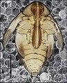 Cleopomiarus distinctus (10.3897-zookeys.808.28172) Figure 81.jpg