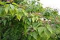 Clerodendrum trichotomum in Jardin des plantes 06.jpg