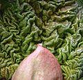 Close-up of rhubarb.jpg