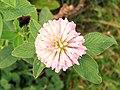 Clover (Trifolium sp.) (3907943014).jpg