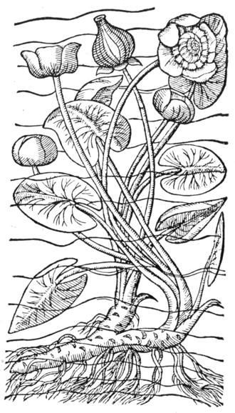 Carolus Clusius - Nymphaea from Rariorum plantarum historia