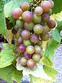 Cluster with immature grapes.JPG