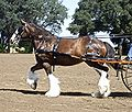 Clydesdale horse1.jpg