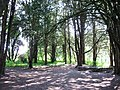 Cobblers Pits - A Yew Woodland in Disused Quarries - geograph.org.uk - 1310392.jpg