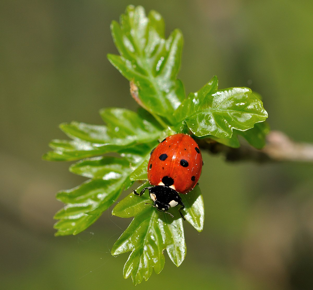 coccinellidae wiktionary