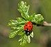 Coccinella septempunctata qtl1.jpg