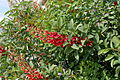 Cockspur Coral Tree Erythrina crista-galli IMG 3642 1725.jpg