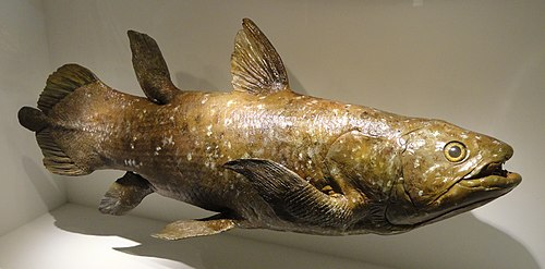 500px coelacanth model, devonian   houston museum of natural science   dsc01709