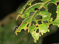 Coleoptera- Polyphaga indet. (5450494076).jpg