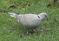 Collared Dove (4143161741).jpg