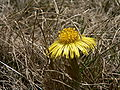 Coltsfoot 001.JPG