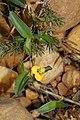 Commelina africana var. africana (Commelinaceae) (4809028679).jpg