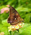 Common Awl Hasora badra by Dr. Raju Kasambe DSCN1090 (6).jpg