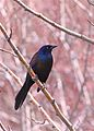 Common Grackle (5677664207).jpg