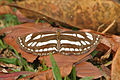 Common Sailor (Neptis hylas varmona) at Samsing, Duars, WB W IMG 5991.jpg