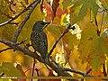 Common Starling (Sturnus vulgaris) (22259937253).jpg