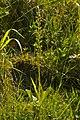 Common Twayblade (Neottia ovata) - geograph.org.uk - 1341122.jpg
