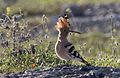 Common hoopoe - Upupa epops 04.jpg