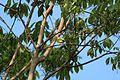 Common iora(14 cm).jpg