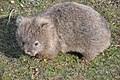 Common wombat 8.jpg