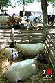 Conches en Ouche - Le Comice Agricole 2017 - Mouton brebis agneau bélier 01.jpg
