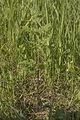 Conium maculatum - Odört.jpg