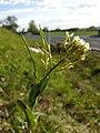 Conringia orientalis sl64.jpg