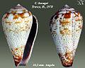 Conus bocagei 2.jpg