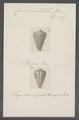 Conus mutabilis - - Print - Iconographia Zoologica - Special Collections University of Amsterdam - UBAINV0274 086 08 0014.tif