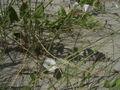 Convolvulus arvensis plant.jpg