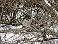 Cooper's hawk feeding on a blue jay 6.jpg