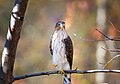 Coopers Hawk Juvy - Flickr - Kim Taylor Hull.jpg