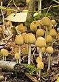 Coprinellus micaceus LC0103.jpg