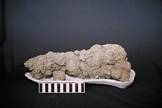 Coprolite - A coprolite of a carnivorous dinosaur found in southwestern Saskatchewan. Photo by Karen Chin of the USGS.