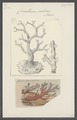 Corallium rubrum - - Print - Iconographia Zoologica - Special Collections University of Amsterdam - UBAINV0274 109 02 0064.tif