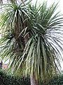 Cordyline australis 10.JPG