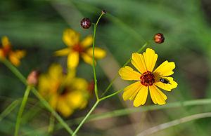Coreopsis - Coreopsis, Kansas wildflower