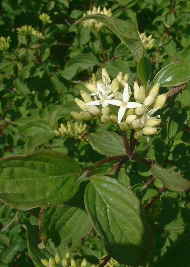 fleurs du cornouiller sanguin