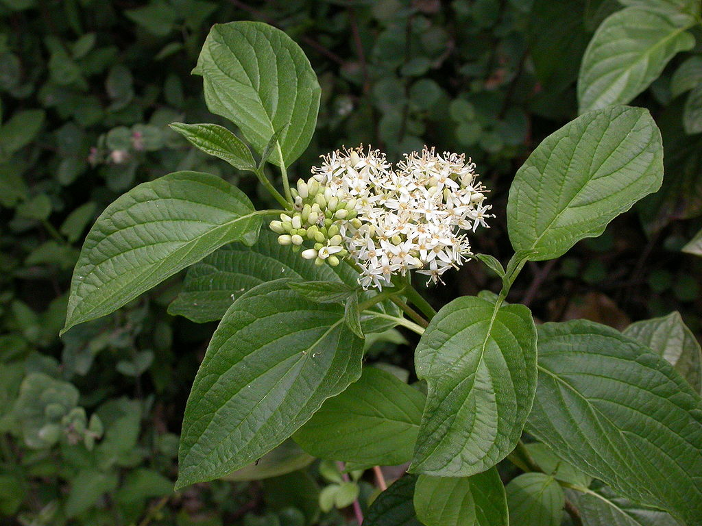 Cornus sericea leaves and inflorescence 2003-08-11