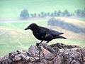 Corvus corone - Edinburgh.jpg